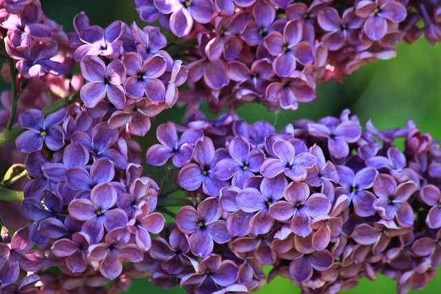 difference between lavender and lilac