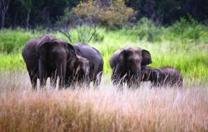 Wildlife in Sri Lanka_Sri Lankan Elephant