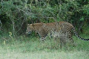 Wildlife in Sri Lanka_Leopard