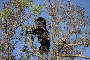 Wildlife in Sri Lanka_Sloth Bear