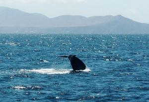 Wildlife in Sri Lanka_Blue Whale