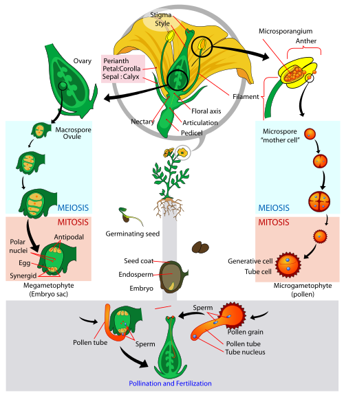 Major difference – Angiosperm vs Gymnosperm