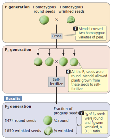 Difference Between Dominant and Recessive Alleles - Expression of  Dominant and Recessive Alleles