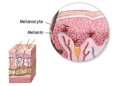 Difference Between Melanin and Melatonin