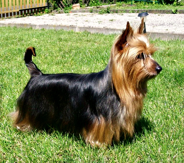 Difference Between Yorkie And Silky Terrier