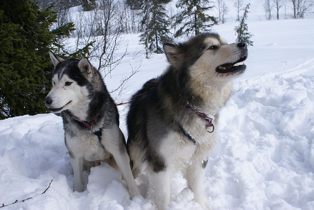 Difference Between Alaskan Malamute And Siberian Husky