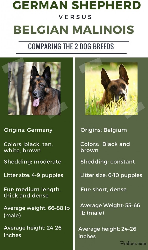 Difference between German Shepherd and Belgian Malinois - infographic