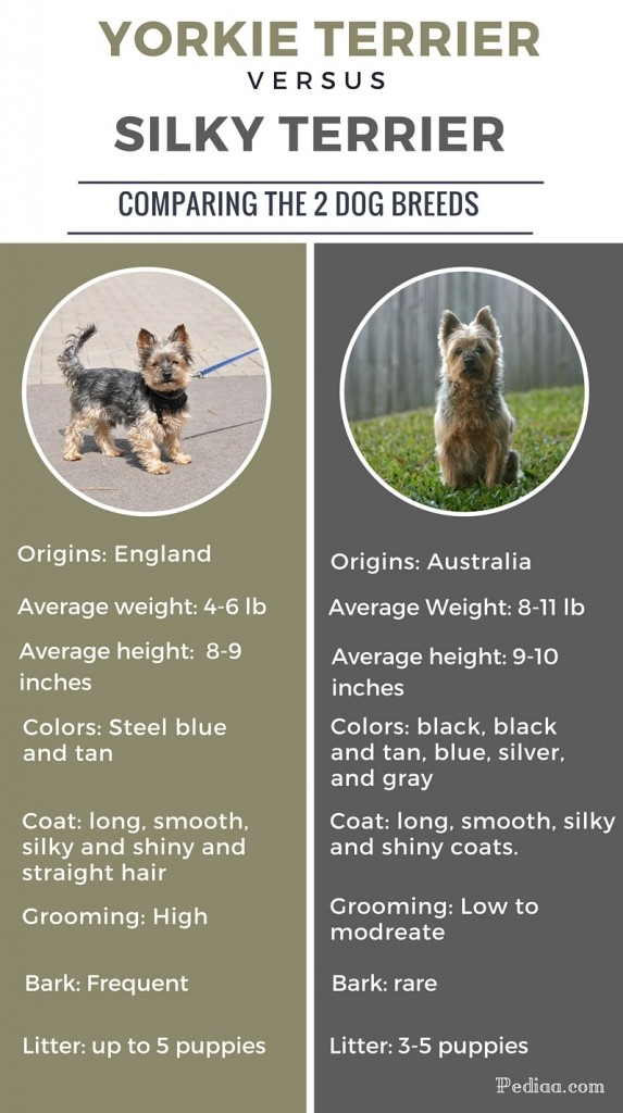 Difference Between Silky And Yorkie