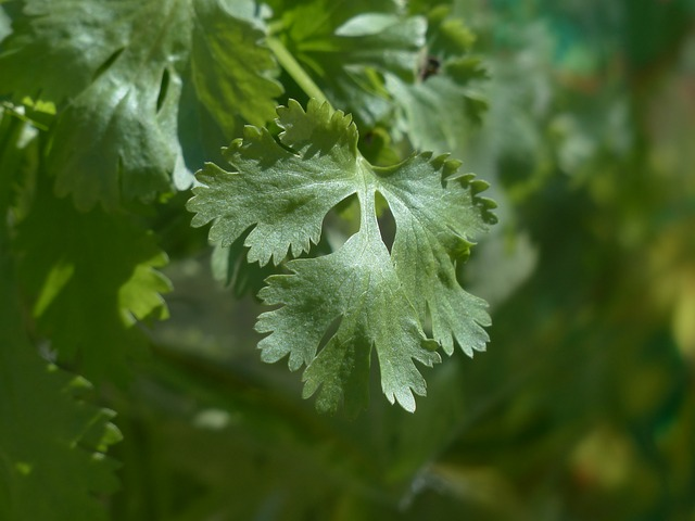 Main Difference - Parsley and Coriander