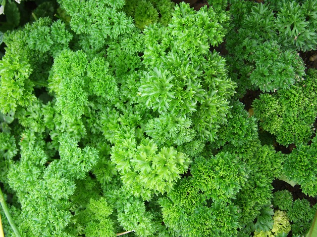Difference between parsley and coriander