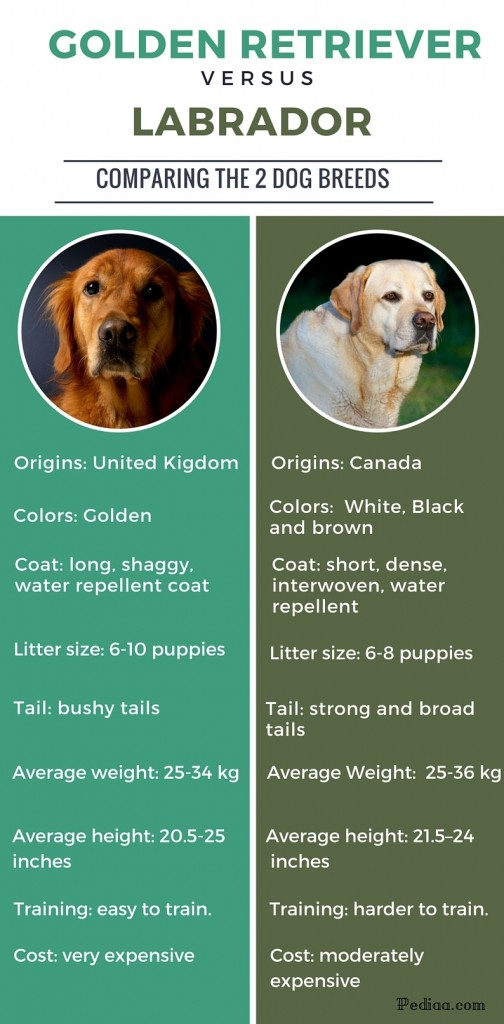 Difference Between Labrador And Golden