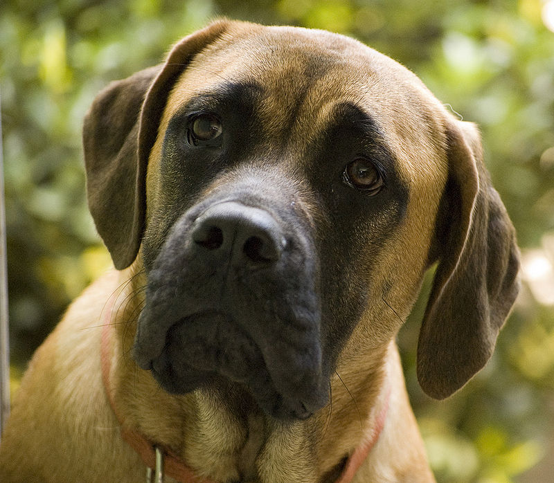 Main Difference - Bullmastiff vs English Mastiff