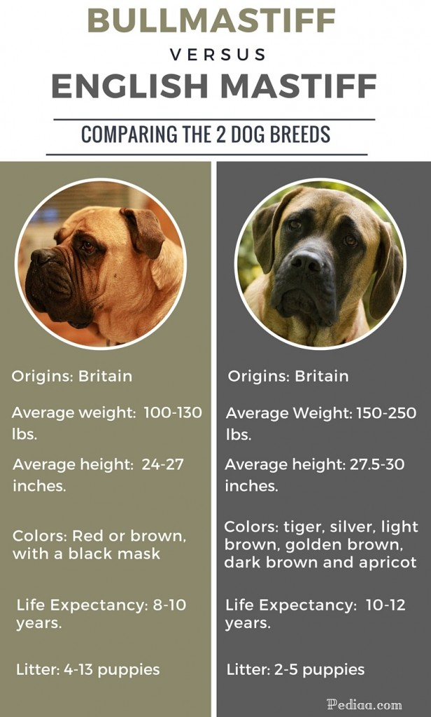 Difference between Bullmastiff and English Mastiff - infographic
