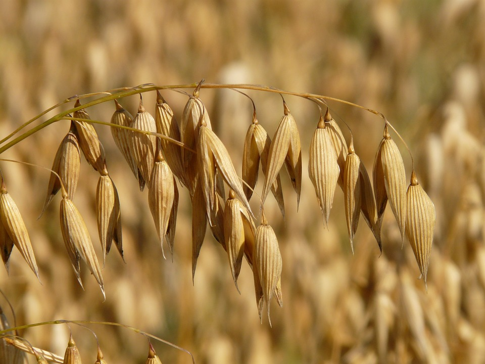 Difference Between Oats and Wheat