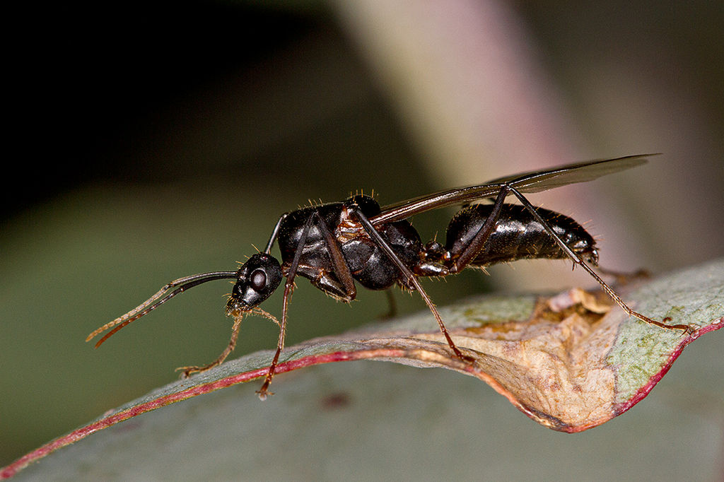 Main Difference - Flying Ants vs Flying Termites