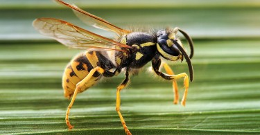 Difference Between Wasp and Hornet