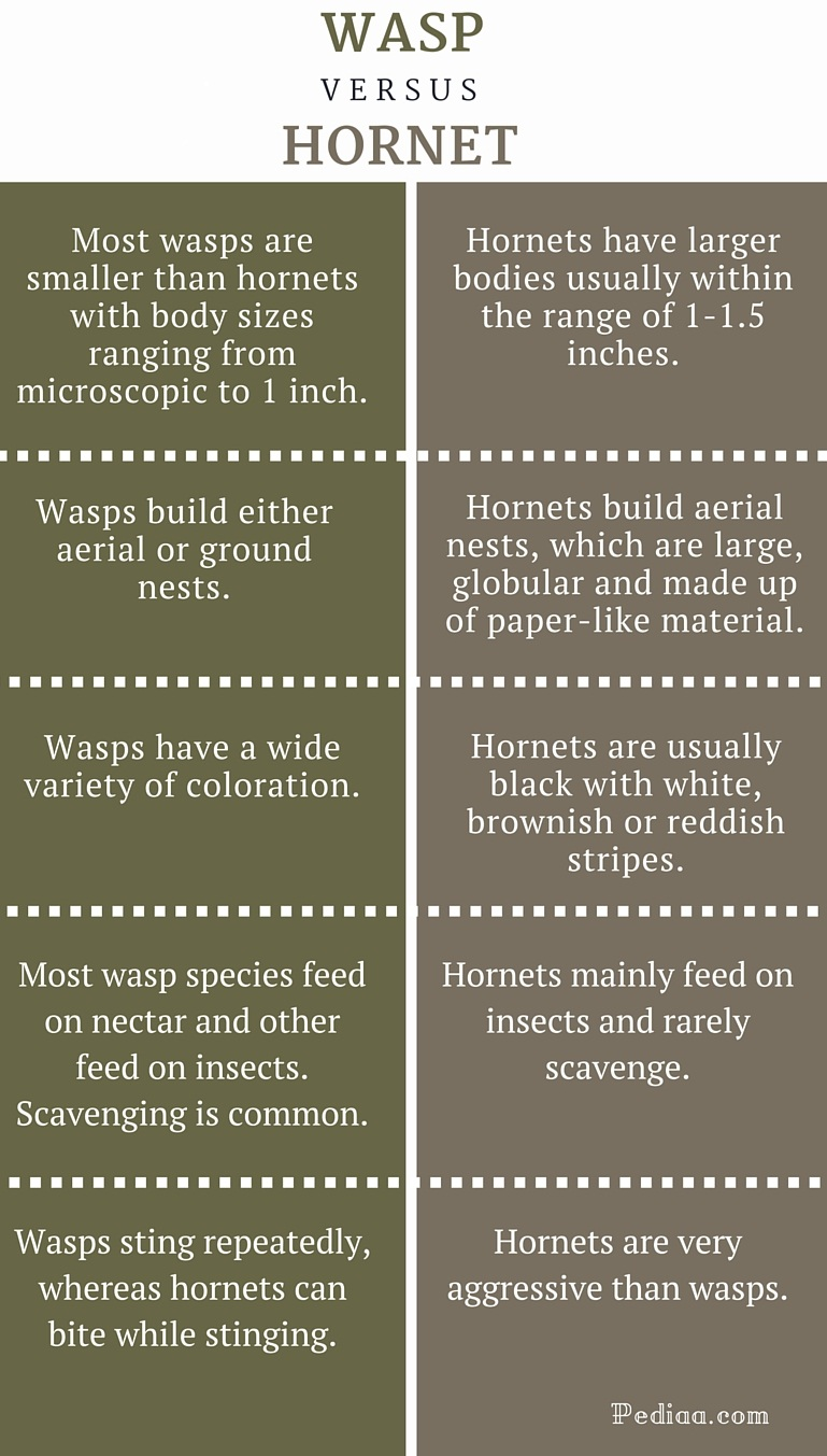 Difference Between Wasp and Hornet - infographic