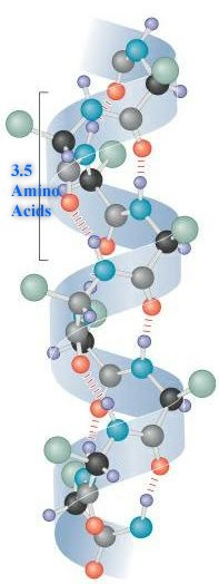 Difference Between Alpha Helix and Beta Pleated Sheet_Alpha Helix Structure