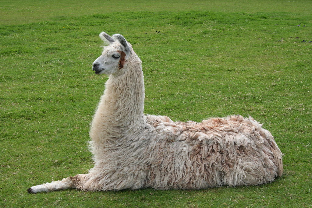 Difference Between Llama and Alpaca