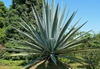 Difference Between Agave and Blue Agave