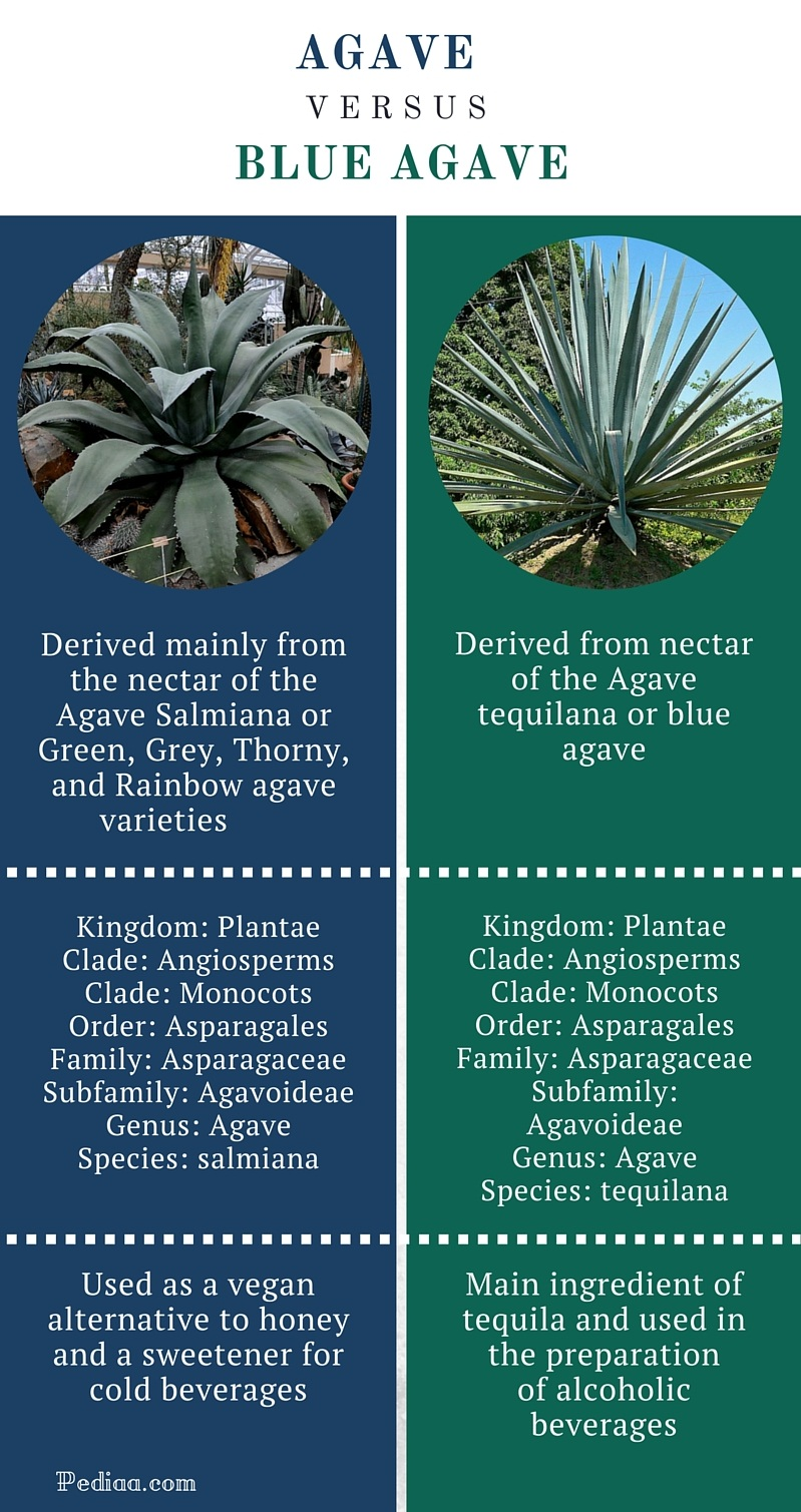 Difference Between Agave and Blue Agave - infographic