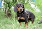 Difference Between Dachshund and Weiner Dog