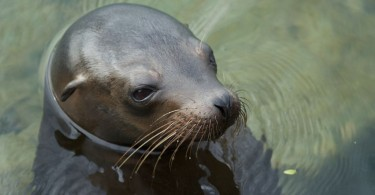Difference Between Seal and Sea Lion