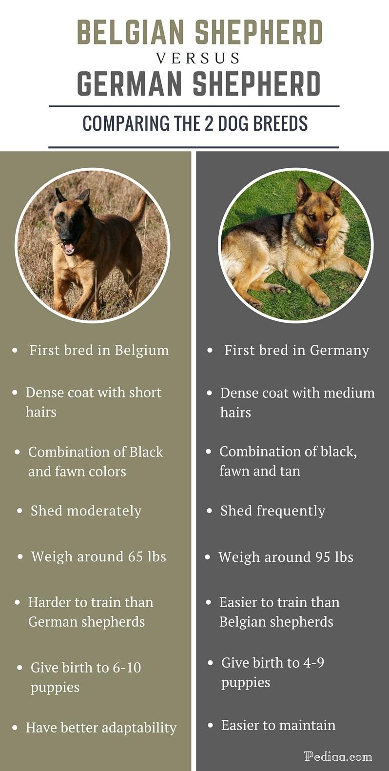 Difference between Belgian and German shepherd- infographic