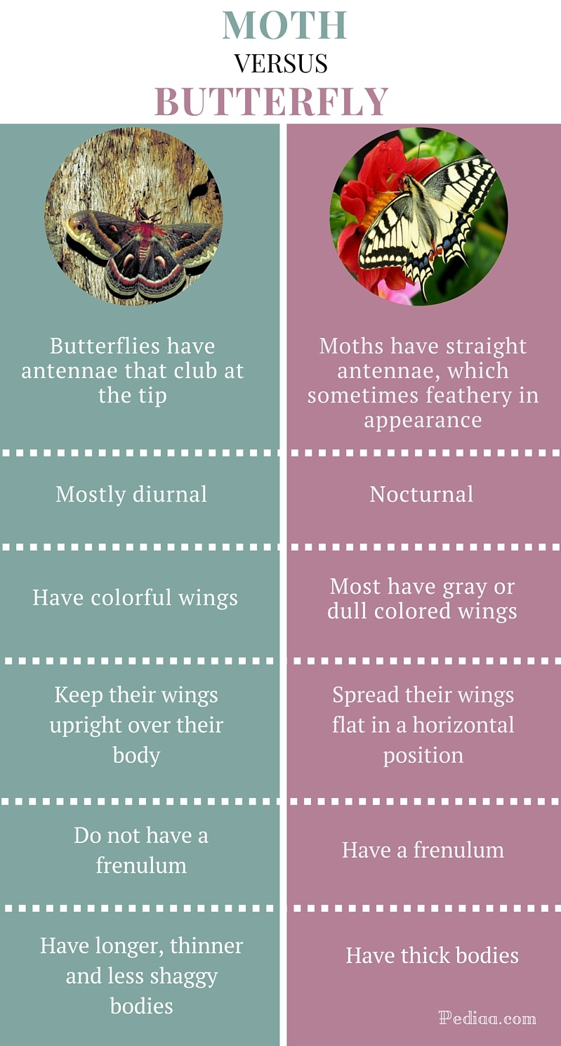 Difference between Moth and Butterfly- infographic
