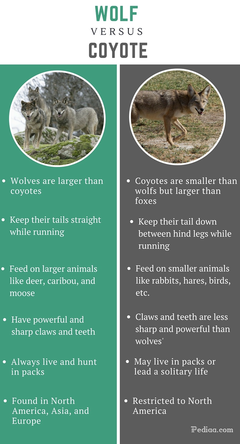 Difference between Wolf and Coyote - infographic