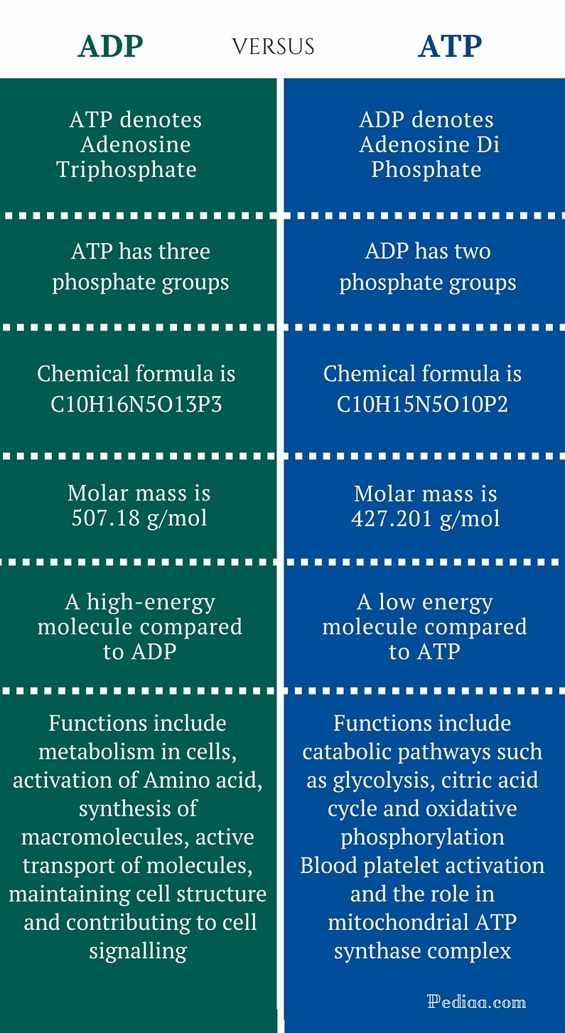 Difference Between ADP and ATP - infographic