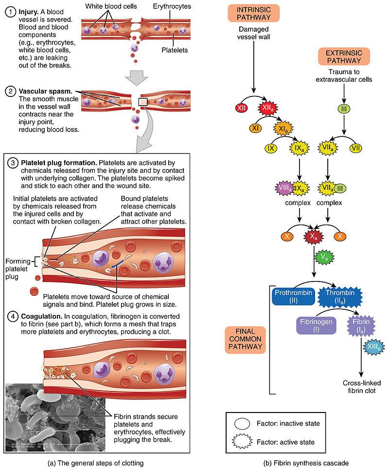 Main Difference - Haemostasis vs Thrombosis