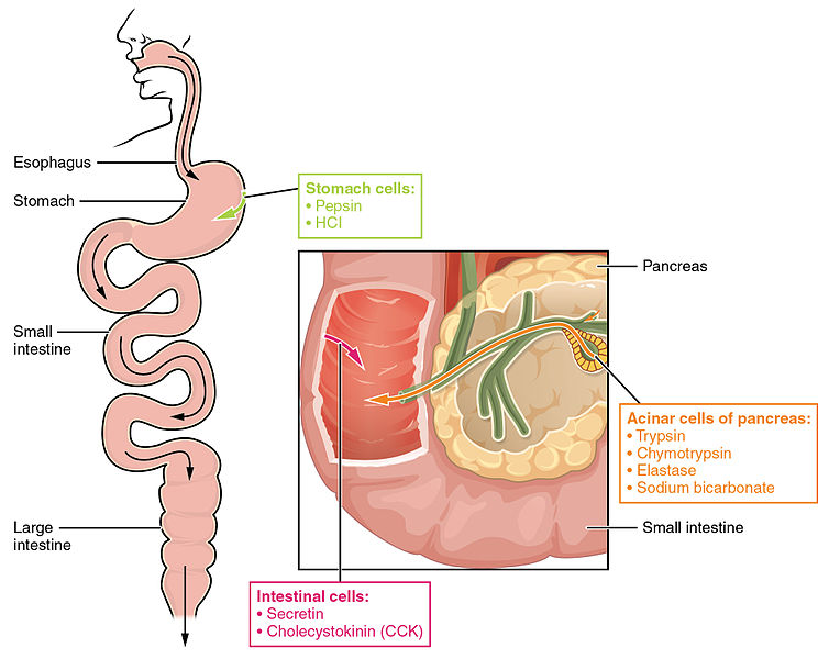 Difference Between Probiotics and Digestive Enzymes