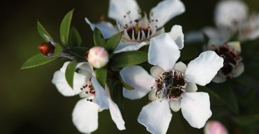 Difference Between Manuka and Jarrah Honey
