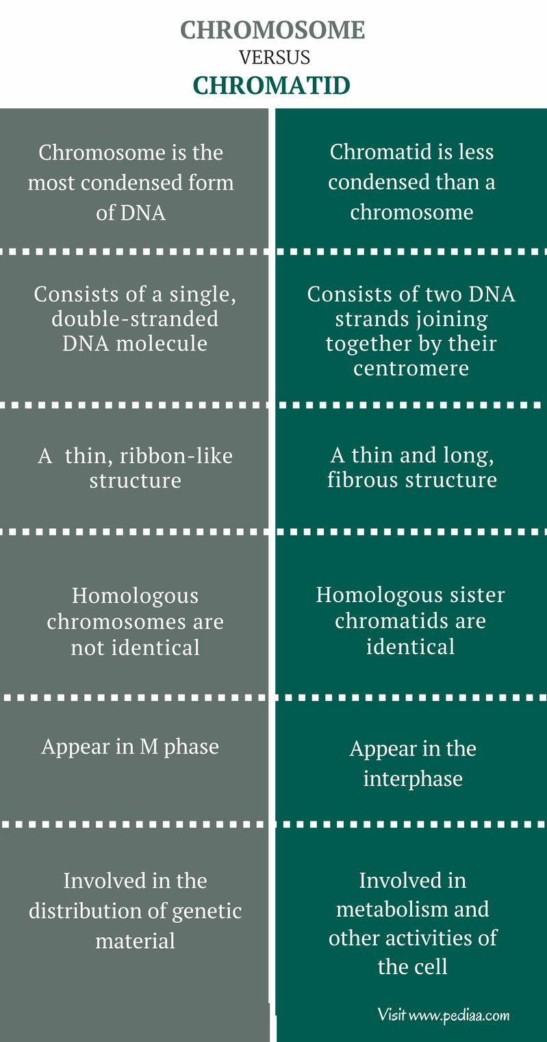 Difference Between Chromosome and Chromatid - Comparison Summary