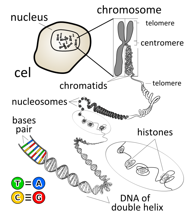 Difference Between Chromosome and Gene
