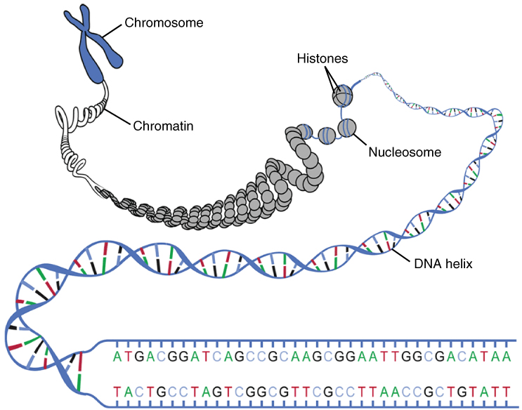 Main Difference - DNA vs Chromosome
