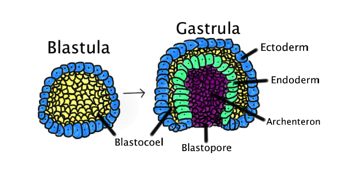 difference between diploblastic and triploblastic pediaacom