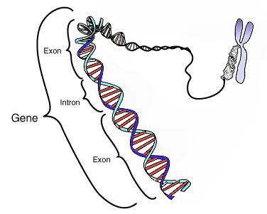 Main Difference - Gene vs Allele