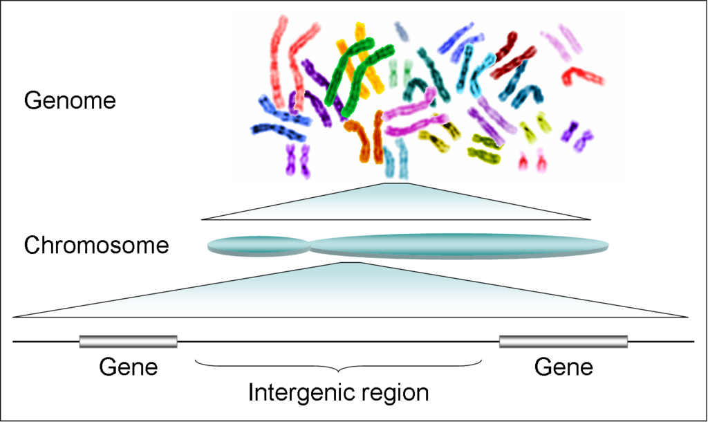 Difference Between Gene and Genome