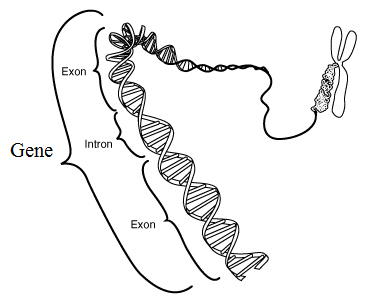 Main Difference - Gene vs Genome