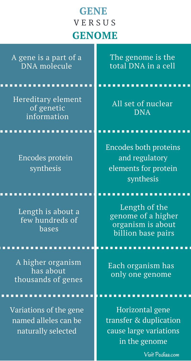 Difference Between Gene and Genome - Comparison Summary
