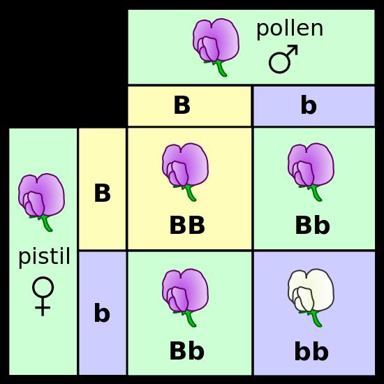 Main Difference - Genotype vs Phenotype