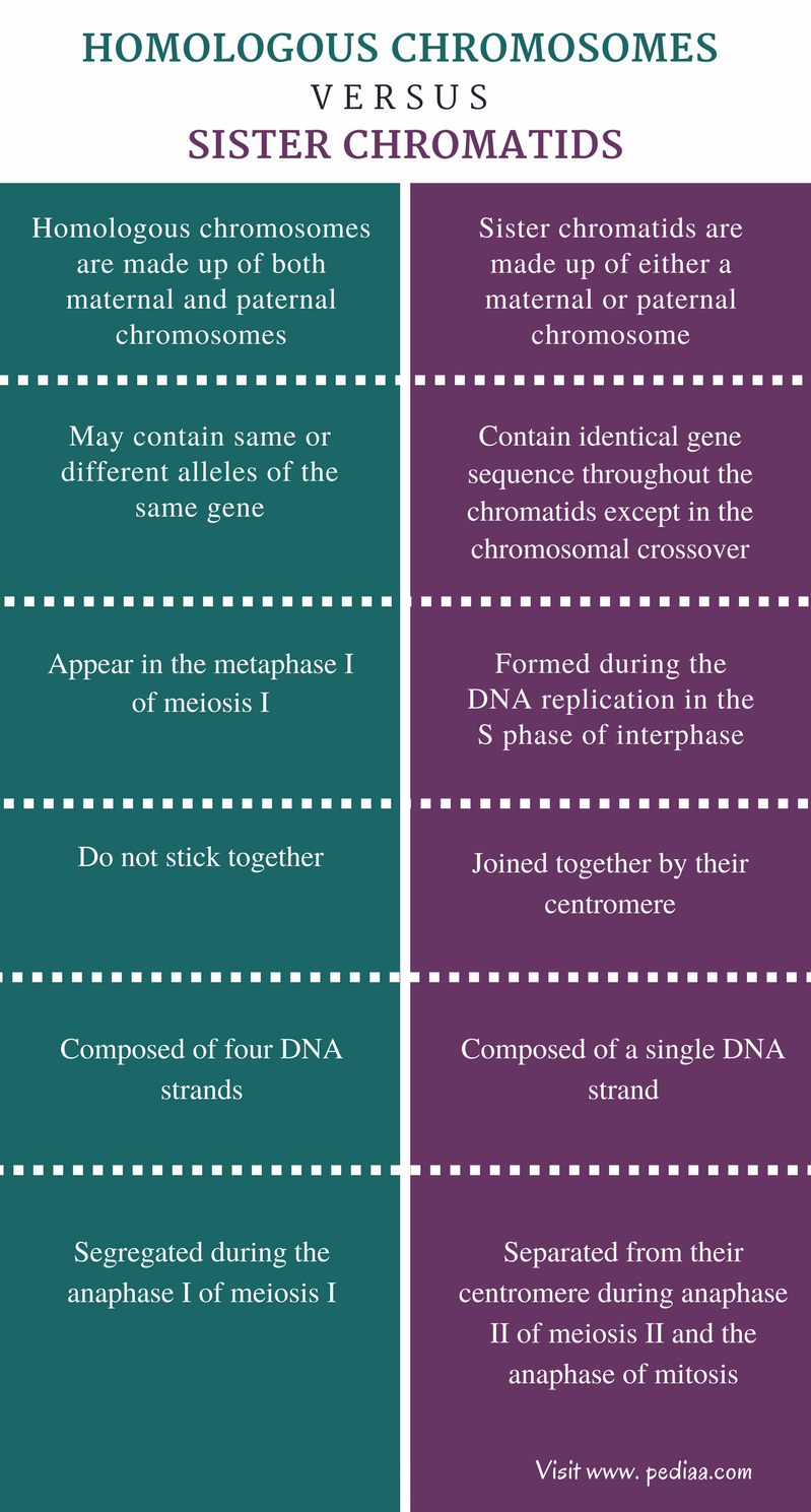 Difference Between Homologous Chromosomes and Sister Chromatids - Comparison Summary
