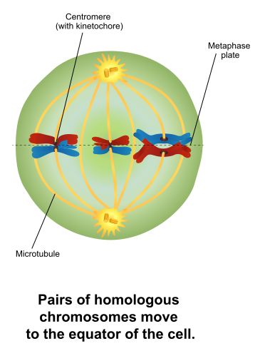 Difference Between Metaphase 1 and 2