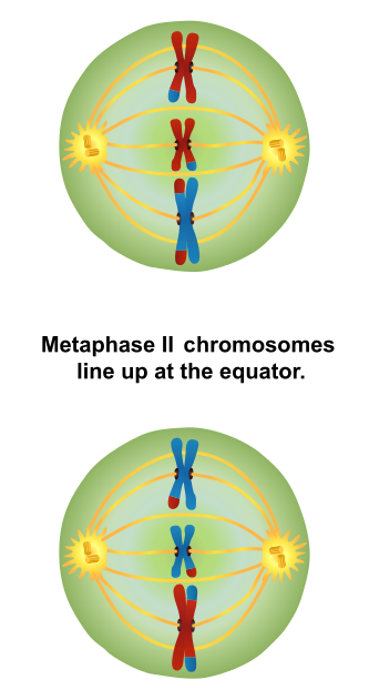 Main Difference -  Metaphase 1 vs  2