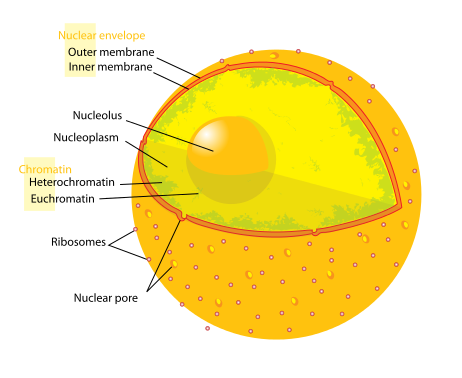 Main Difference - Nucleolus vs Nucleus