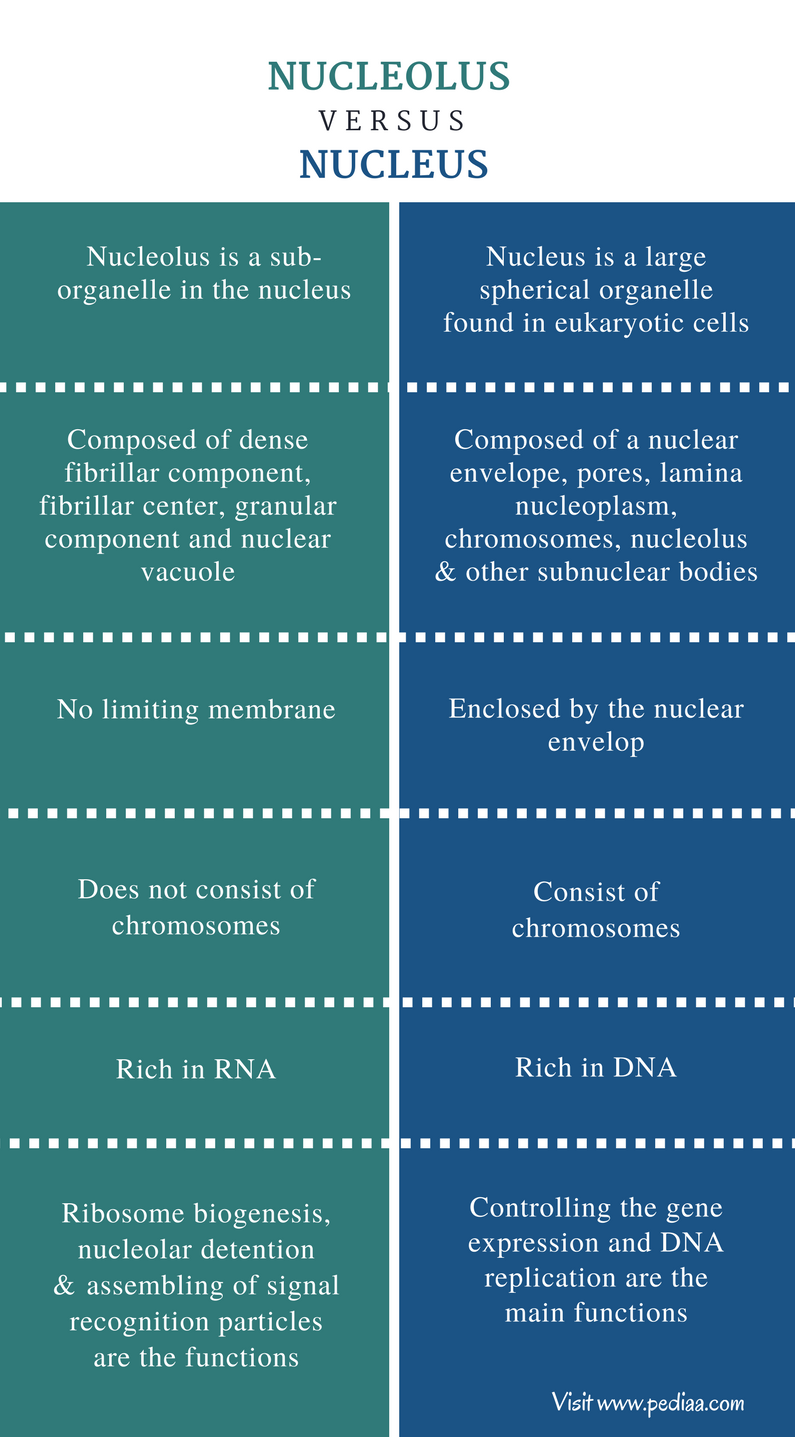 Difference Between Nucleolus and Nucleus - Comparison Summary