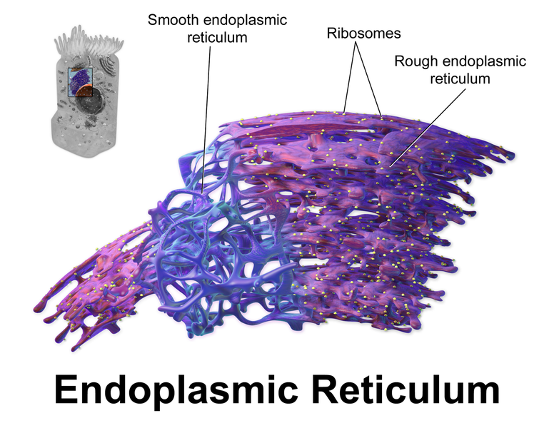 relationship between er and ribosomes images