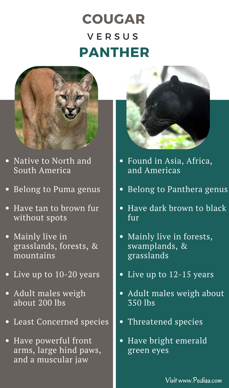 Difference between Cougar and Panther - Comparison Summary (1)